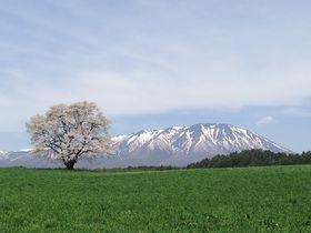孤高の一本桜はGWが見頃!絶景の岩手山と小岩井農場一本桜