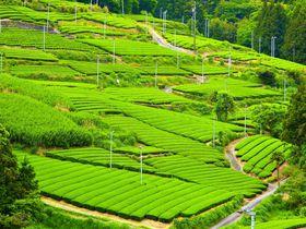 GWが一番美しい!静岡・旧東海道の茶畑が緑の絶景に