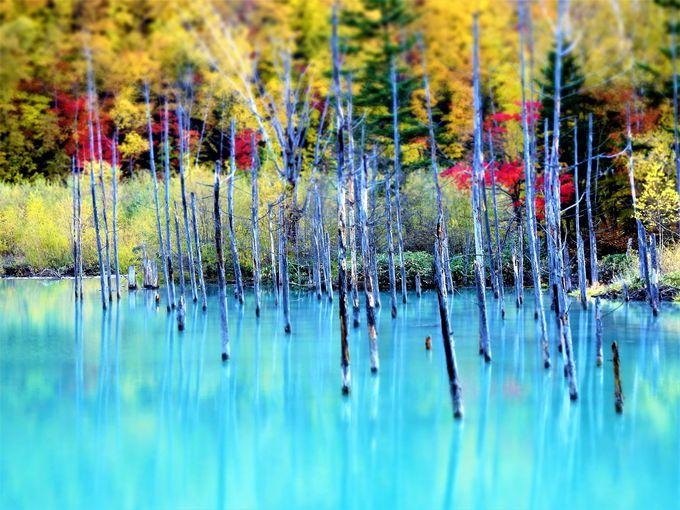 美瑛の紅葉#1 赤く染まった青い池?