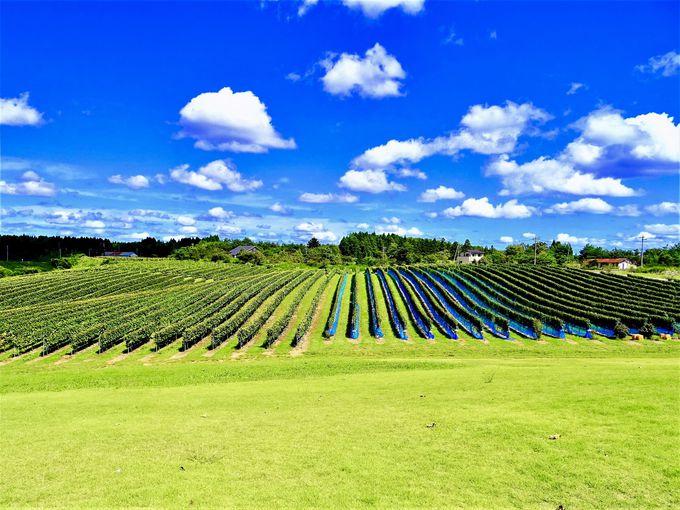 ここはほんとに能登?能登ワインからのブドウ畑が絶景!