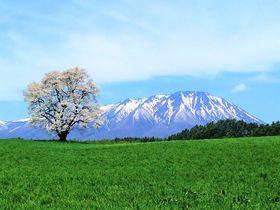 孤高の一本桜はGWが見頃!小岩井農場一本桜と絶景の岩手山