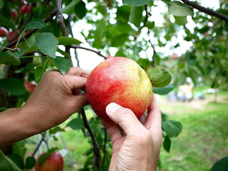 りんごのもぎ方は簡単、原田農園ではスタッフが教えてくれます