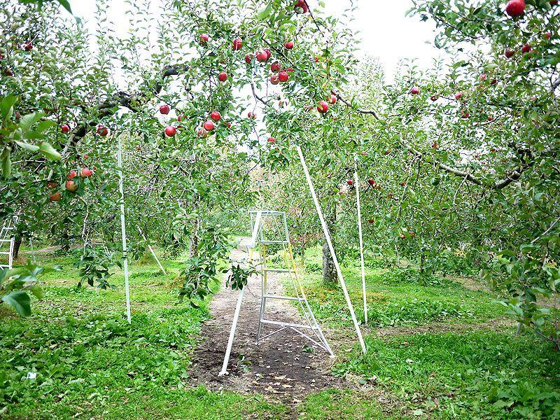 りんご狩りを通してりんごを知ろう!