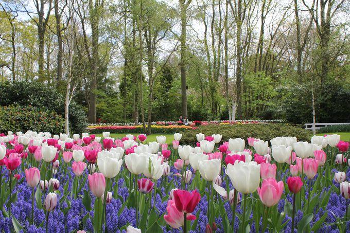1.オランダ(キューケンホフ公園)