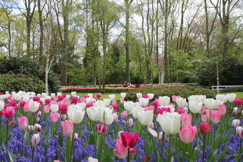 オランダ花の公園・キューケンホフの歩き方ベストガイド