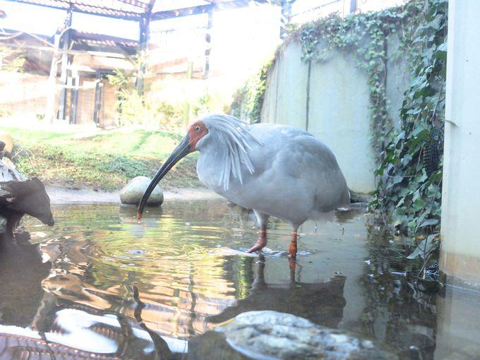 日本に於けるトキという鳥が特別なワケ