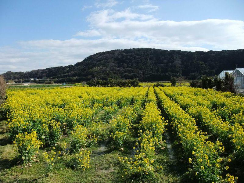 びわと菜の花畑に囲まれて‥。南房総・富浦で過ごす暖かな休日。