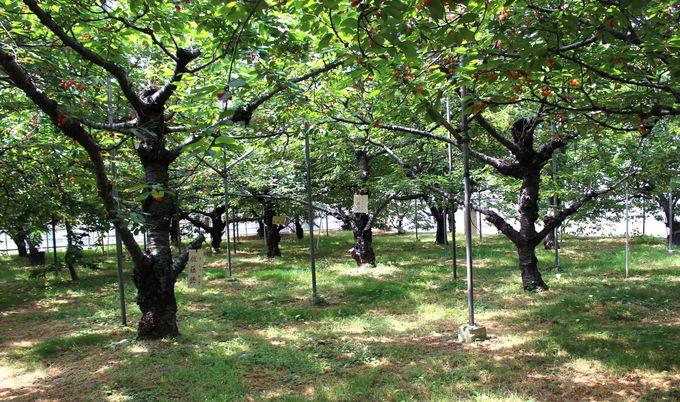 栃木県下サクランボ農園のパイオニア「こまき園」!