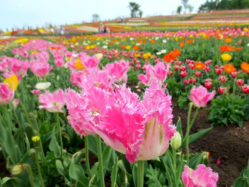 チューリップの風に吹かれて「那須フラワーワールド」300種&22万株の絶景!