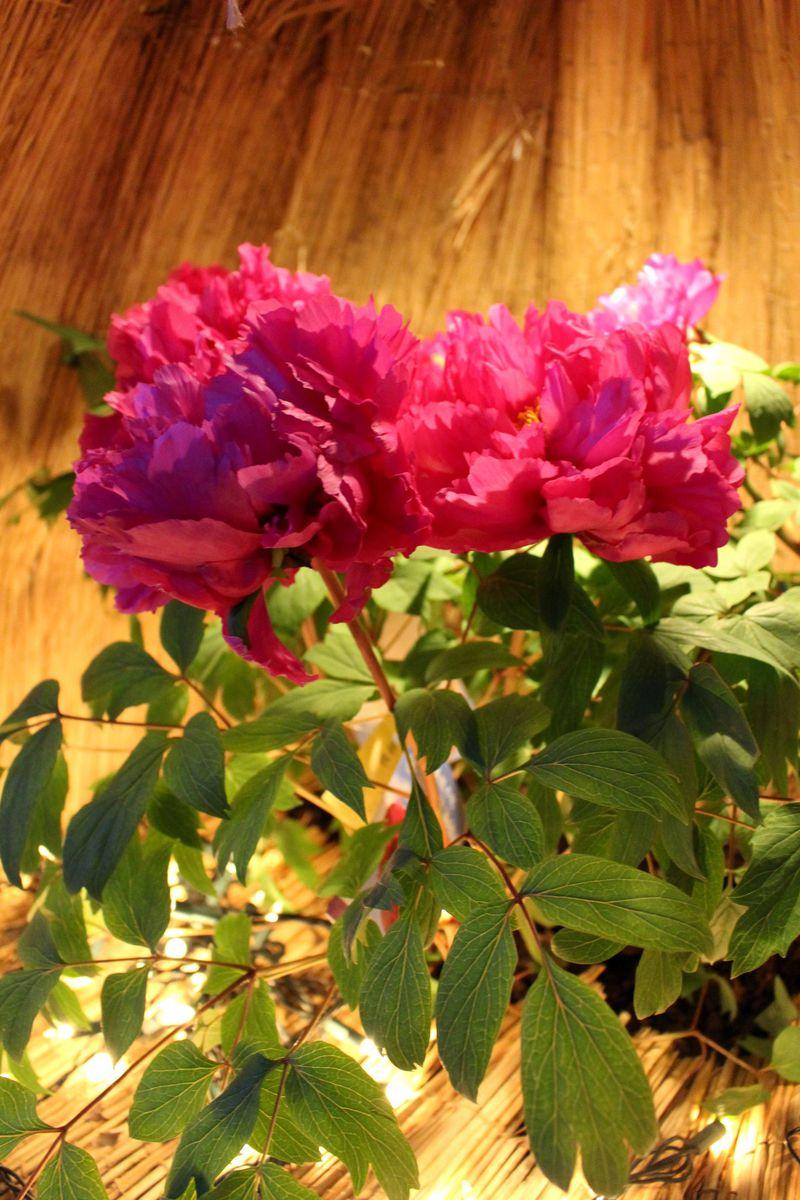 雪囲いに優しく抱かれた花々の美しさ