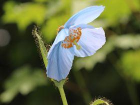 ヒマラヤの青いケシを関東の秘境で!日光「上三依水生植物園」フォトジェニックな旅|栃木県|トラベルjp<たびねす>
