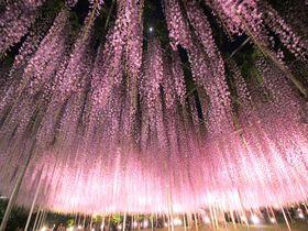 藤が見頃!「あしかがフラワーパーク」奇跡の大藤の下で、綾瀬はるかが踊った名場面を追体験