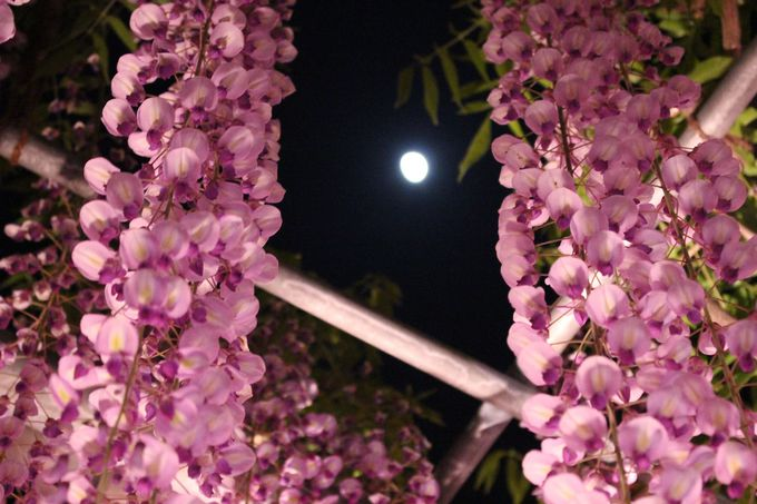 昼・夕暮・夜のライトアップ、それぞれの大藤の表情に注目!