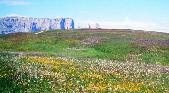 「アルペ ディ シウジ」のお花畑は6月末から7月中旬までを狙え!