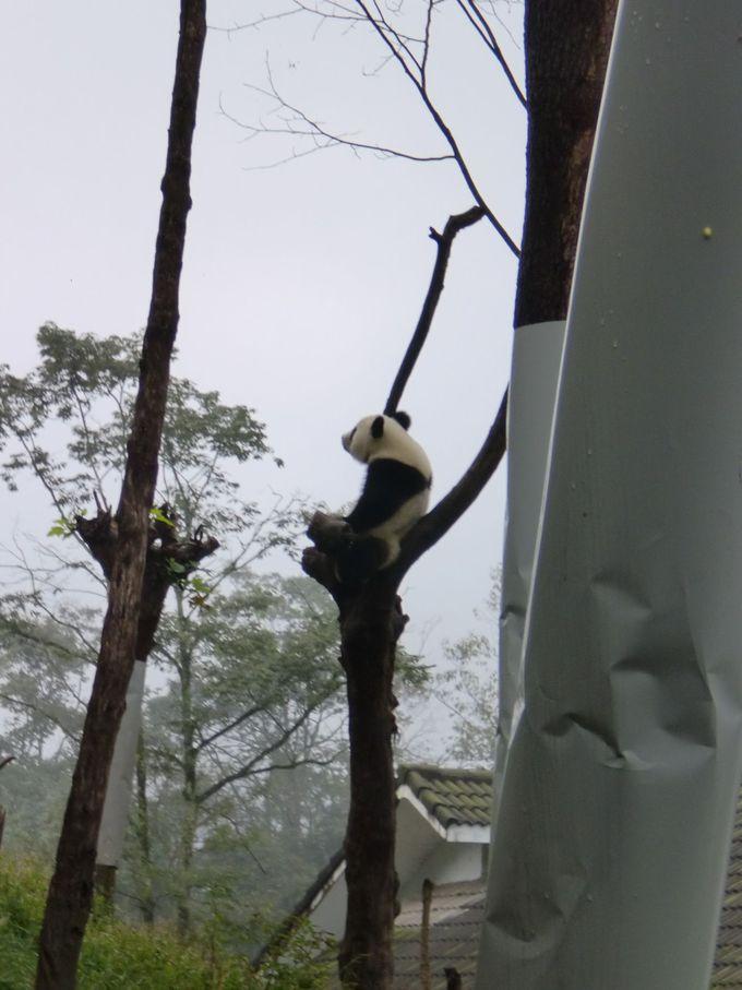 パンダって木に登るの!?木の上でたそがれている木登りパンダに会いに行こう!