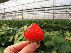 香川ブランドのイチゴが摘み放題!極旨ジェラートもある人気の農園「森のいちご」|香川県|トラベルjp<たびねす>