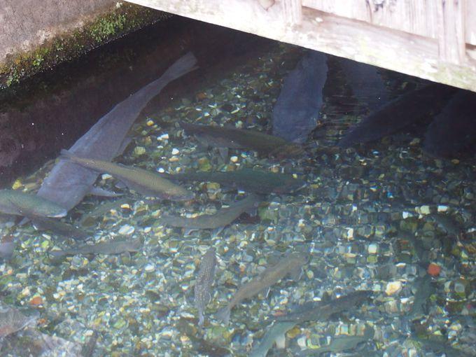 「川端(かばた)」では琵琶湖で釣り上げた巨大な鯉が悠々と