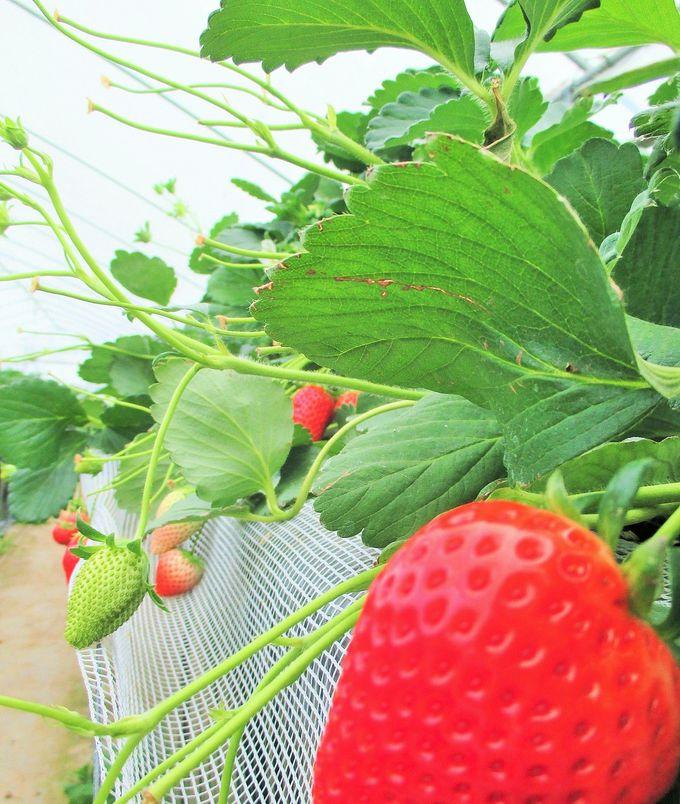 いちご王国栃木の「いわふねフルーツパーク」でいちごを食べ尽くそう!