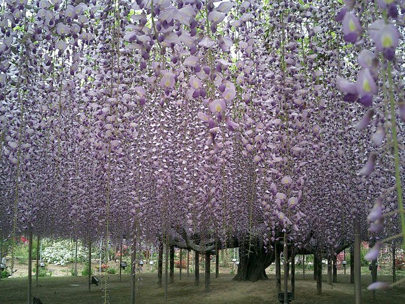 息をのむ美しさ!「あしかがフラワーパーク」の藤の庭園