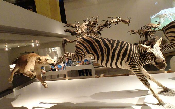 世界初!動物の狩りの瞬間をとらえた展示