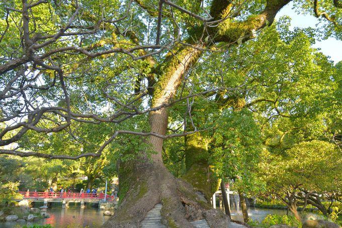 寄り添う木、夫婦樟に願いを込めて