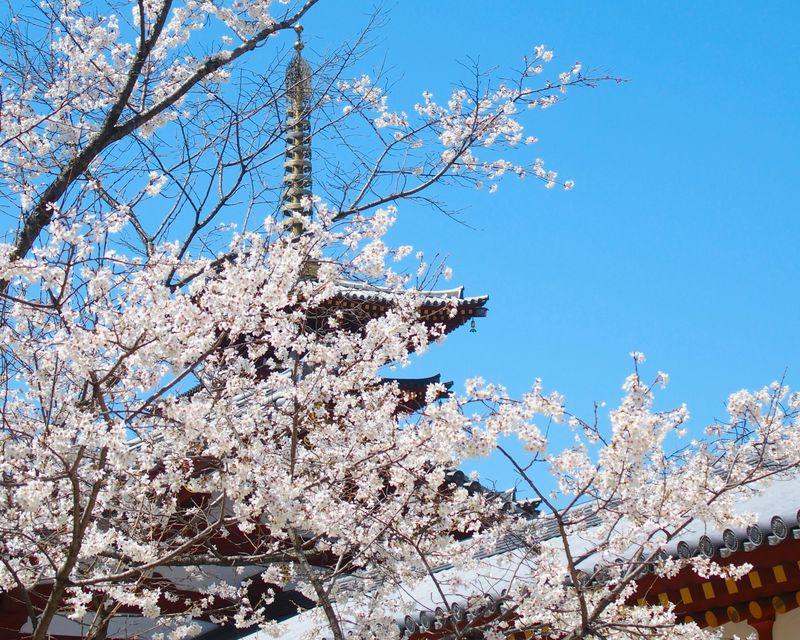 桜の雲のむこうに五重塔!「薬師寺」で春の奈良を満喫