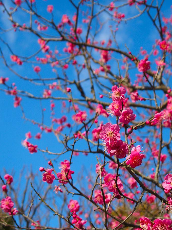 梅の紋も香り立つような 春の太宰府