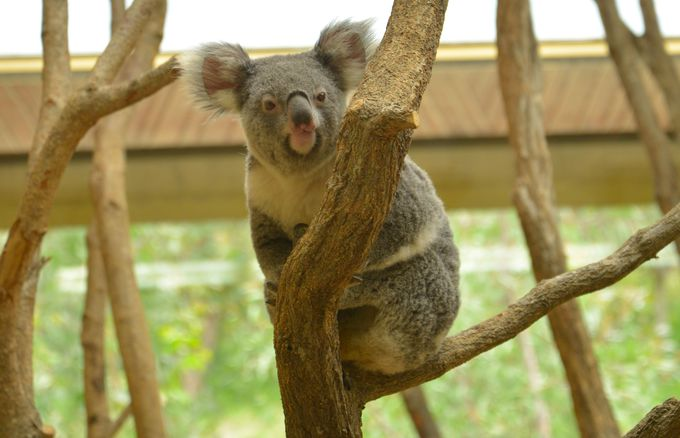 コアラ舎は「動物とこどもの国エリア」の中