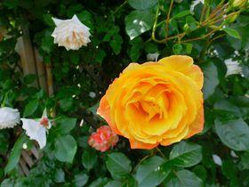 美の女神ビーナスの花と言えば…バラ!山形・東沢バラ公園|山形県|トラベルjp<たびねす>