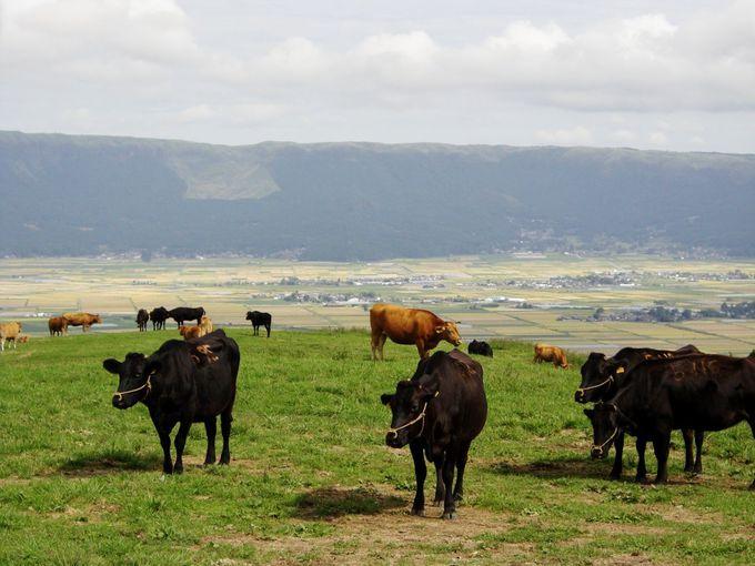最近注目される世界水準のあか牛