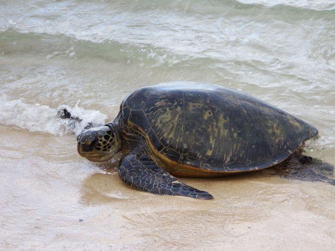 一番ウミガメに会える確率の高い!「ラニアケアビーチ」