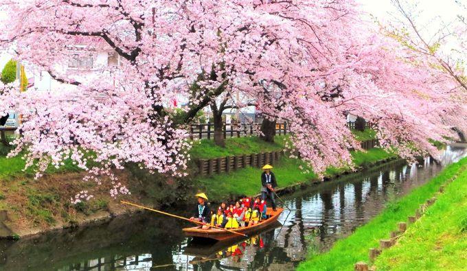 満開の桜の下で舟遊体験も!新河岸川「龜屋榮泉の桜並木」