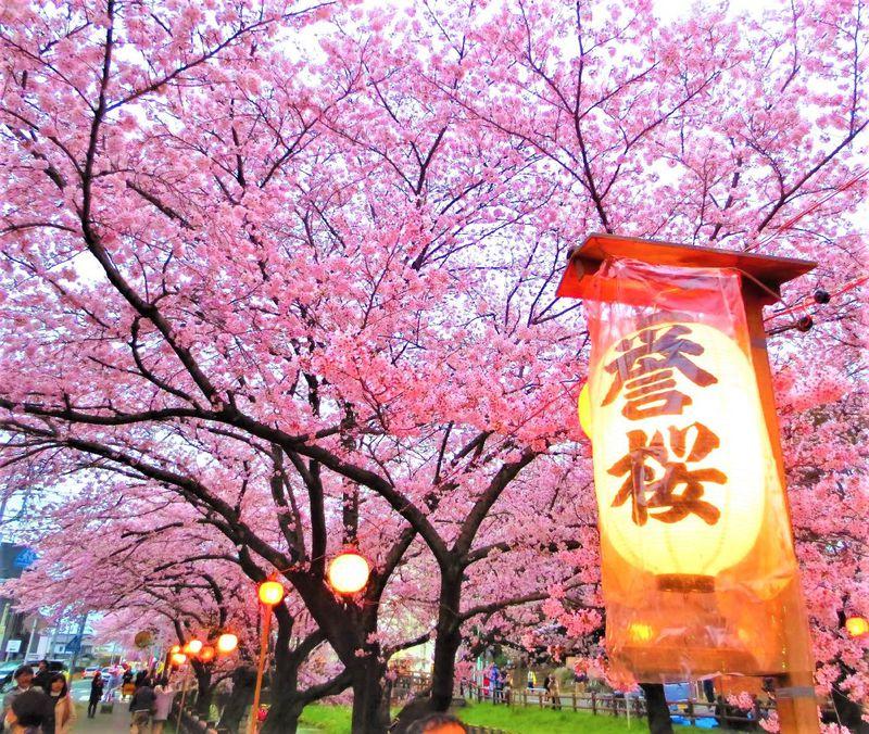 川越の桜景色は徒歩で大満喫!小江戸川越お花見スポット5選