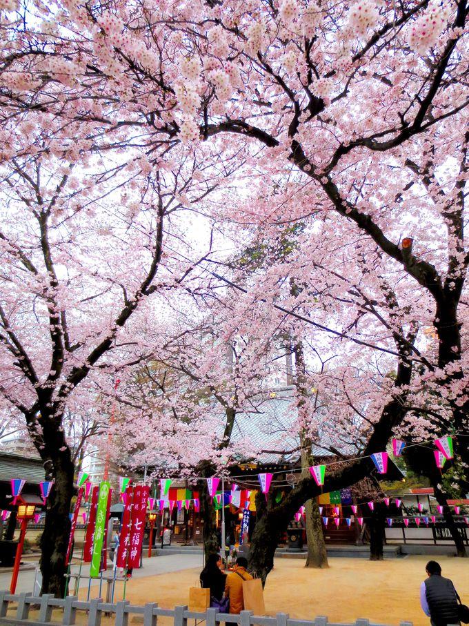 境内を埋め尽くす桜に圧倒!「蓮馨寺」