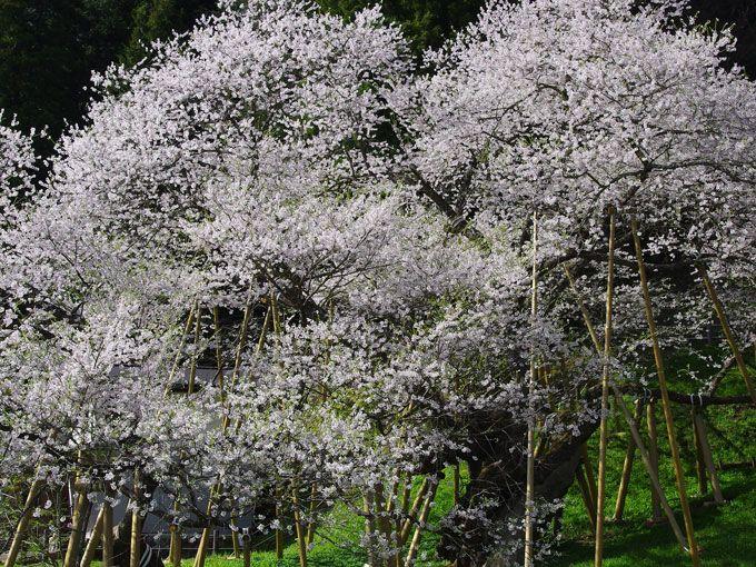 濃いめのピンク色から白色に—日々、表情を変える臥龍桜