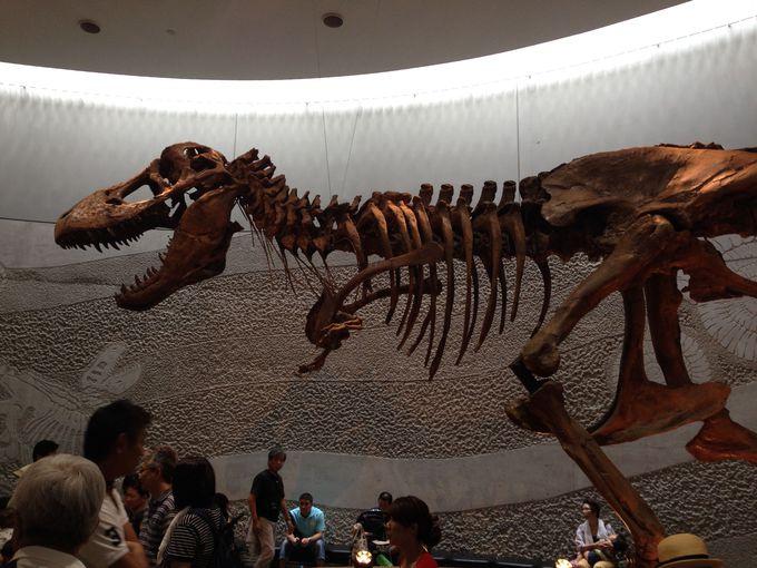 本物の恐竜の化石も展示!