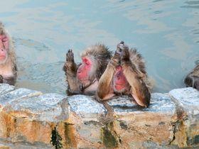 五郎丸ポーズ?北海道「函館市熱帯植物園」の温泉に入るサルがかわいい|北海道|トラベルjp<たびねす>