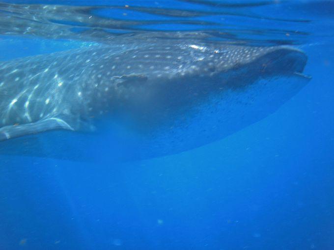 ジンベイザメと泳げるチャンスは夏だけ!夏期限定、お見逃しなく!