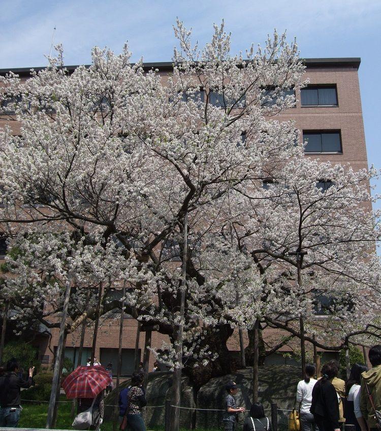 石を割って咲く!天然記念物の石割桜は春必見