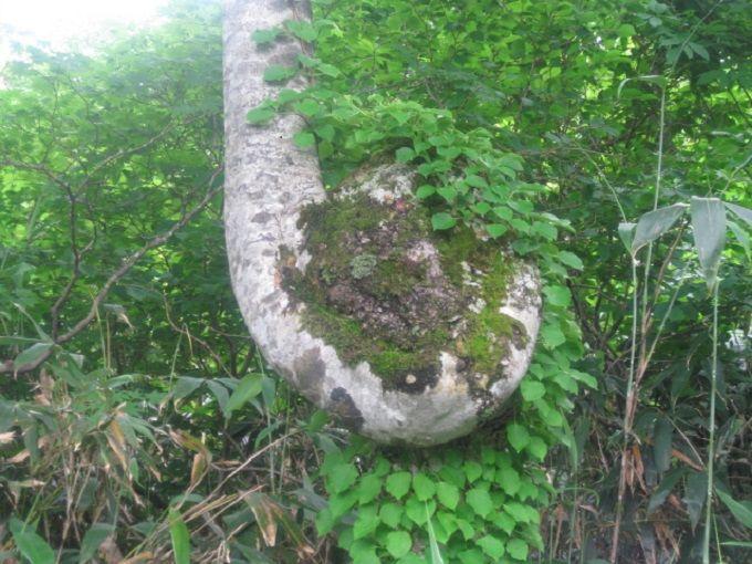まるでぜんまい!?360度回転したブナの木が・・・