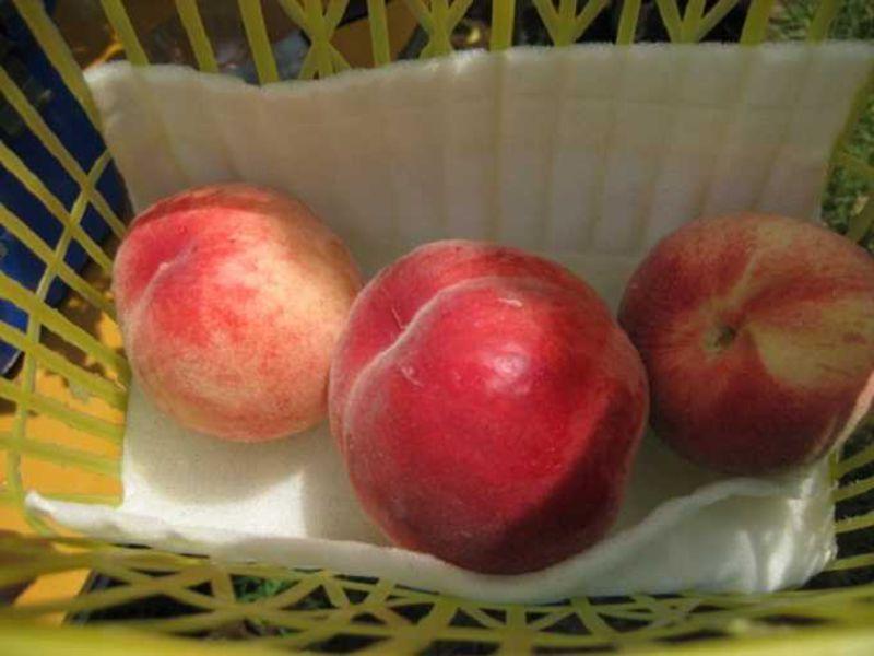 旬はすぐそこ!あま〜い桃が「食べ放題」の桃狩りへGO!〜山梨おすすめグルメ〜