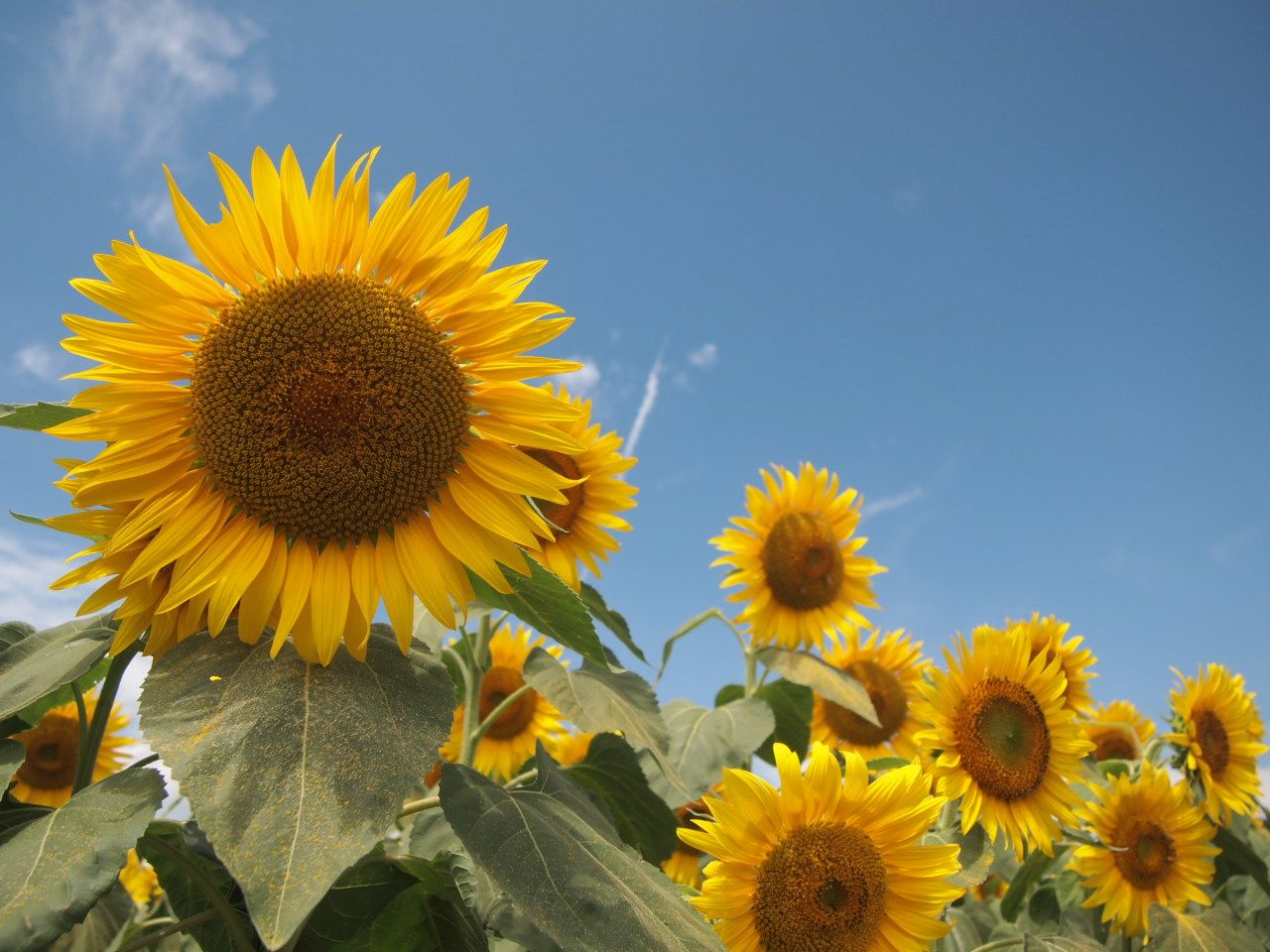 夏限定のひまわり畑「明野サンフラワーフェス」!60万本のひまわりを見に行こう〜山梨県北杜市