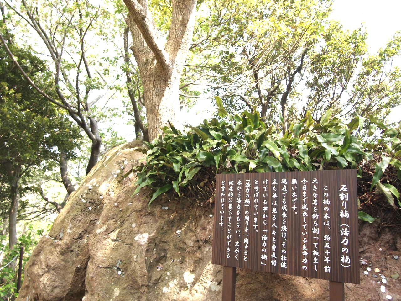 自然のパワーってすごい!石を割って生える木「石割り楠」