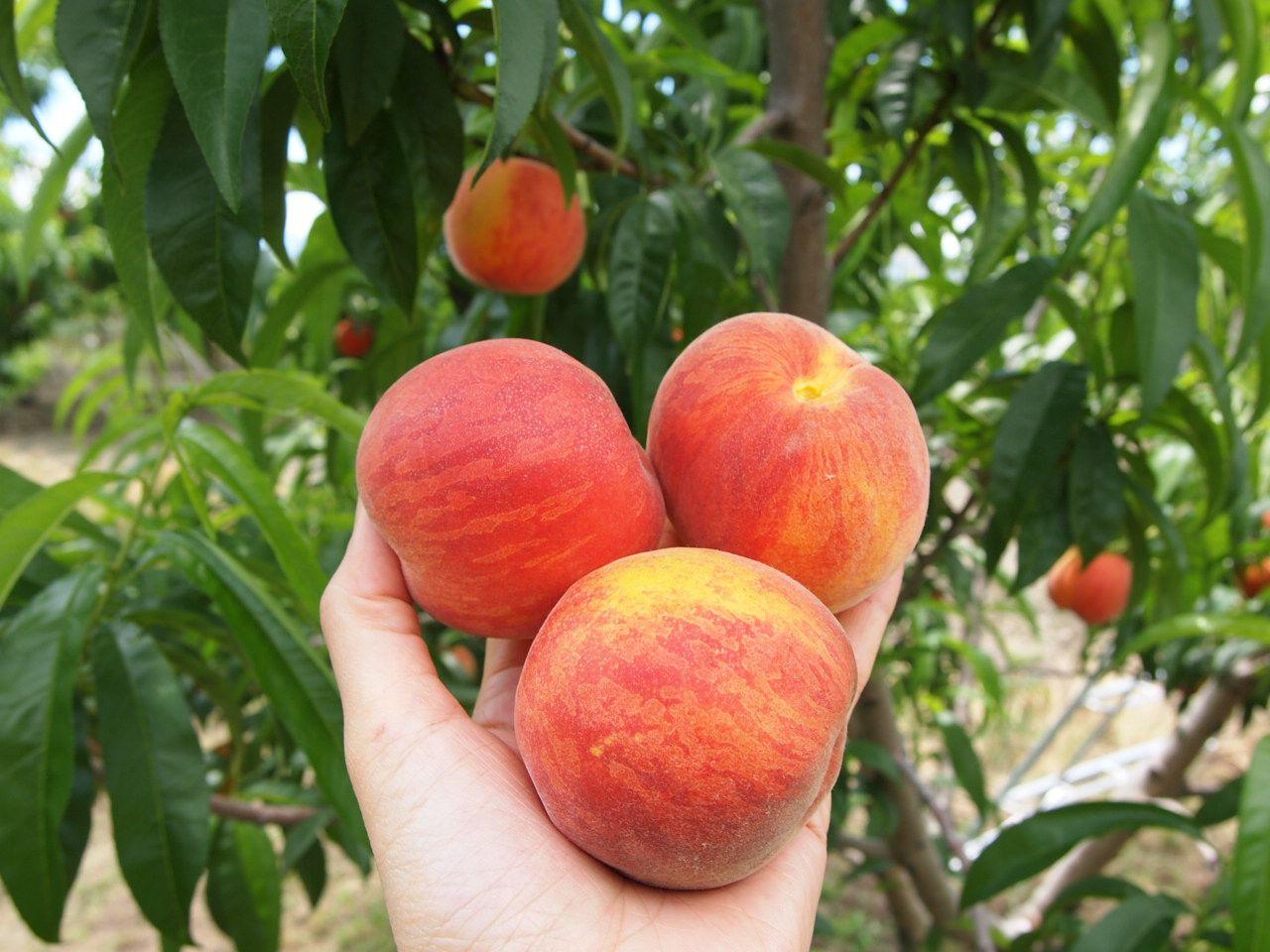 時期によって変わる桃の品種! 何度も訪れて食べ比べを!