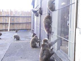檻に入るのは人間!?南伊豆「波勝崎苑 猿園」で野生の猿にご挨拶!|静岡県|トラベルjp<たびねす>