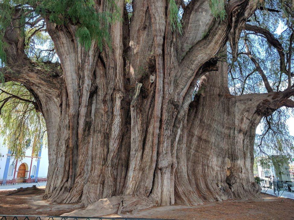 世界でもっとも幹の太い大木「トゥーレの木」