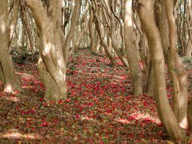まるで赤い絨毯!萩の笠山で一面の椿を楽しもう!|山口県|トラベルjp<たびねす>