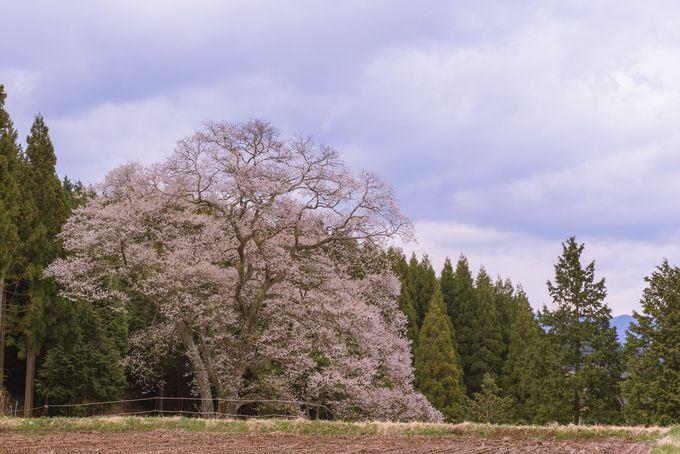 県下3位の巨木!「森湯谷のエドヒガン」