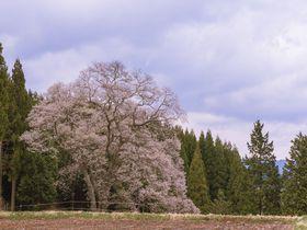 咲き誇る一本桜の魅力!広島県庄原市の名木「東城の三本桜」|広島県|トラベルjp<たびねす>