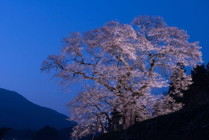 ライトアップも美しい「小奴可の要害桜」!